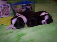 FOR SALE THREE MALE SHORKIE PUPS READY JUNE 9TH I have
