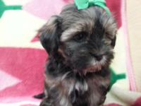 Shorkie Babies for sale 12 weeks females very cute