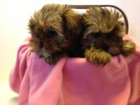 I have 4 cute Shorkie females available, complete of