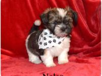 """ NOLAN "" Adorable Shorkie Male !!! Shih-tzu mom (8"