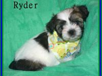 """ RYDER' Shorkie !!! Shih-tzu mom (8 lbs) and Yorkie"