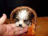 Beautiful Shorkie-tzu have been raised inside and