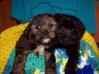 Beautiful Shorkie Tzu and Yorkiepoo are looking for a