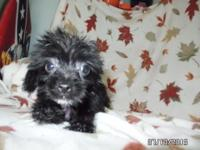 Yorki-Tzu pup.  Born in May.  The Yorki-Tzu is from a