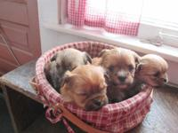 THERE ARE 2 LITTERS OF SHORKIEPOOS (SHIHTZUS AND