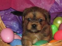 For sale Shorkie pups Shorkies are a designer breed.