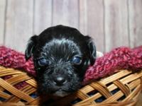 Weaver's Pets has 2 shorkie litters readily available,