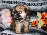 Shorkie (Shih-tzu/yorkie) Family raised. Great family