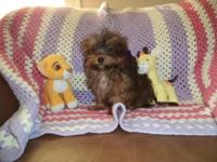 Shorkie Puppy (Yorkshire Terrier / Shih Tzu) Male Full,