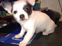 This is Mari, she is a shy chihuahua from a litter of