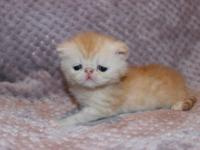 Orange tabby and white EXOTIC SHORT HAIR kittens are