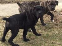 Merendo Cane Corso has Black and Brindle Pups. Males