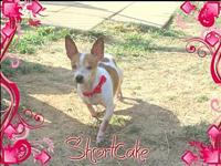 Shortcake's story ShortCake is an 8 year old Chi lil