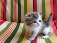CFA registered Exotic shorthair and longhair kittens