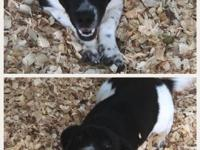 Shorti McShortShort is a Basset / Border Collie mix and