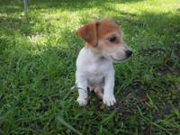 Shorty Jack Russell, that carry the merle gene as well