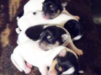 Shorty Jack pups available now! 2 litters to choose