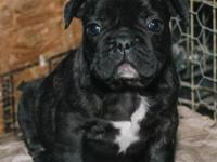 I have a few ShortyBull puppies for sale, I have both
