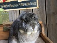 Chinchilla brood buck available. Could carry chocolate!