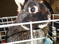 I have several purebred Netherland Dwarf rabbits for