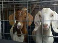 2 show goats for sale. Shown in the Four States Fair in