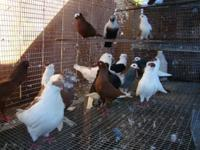 Show Pigeons: Many different breeds of Show Pigeons.