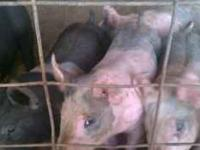 Show pigs for sale. Farrowed 8/23/11 TO 9/3/11. I have