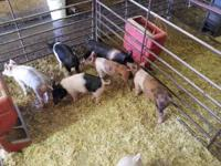 We have 15 end of jan to feb 10 born showpigs available