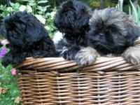 SHOW QUALITY AKC Shih Tzu Males. Brindle. Brindle and