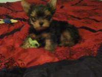 Adorable AKC Male doll faced teacup yorkie. Mommy is