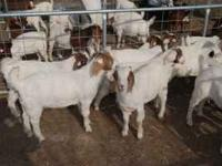 For sale, wether boer goats , out of top winning