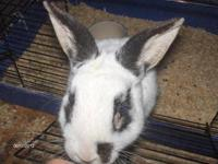 We have several show quality checkered giant rabbits