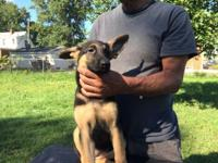 Pure breed German shepherd young puppies (pictures