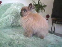 Show Rabbits $20 rehoming fee Holland Lops & Jersey