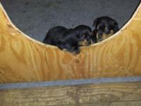 5 week old Rottweiler AKC Papered Show Puppies, Mom and