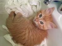 My story Shower is a male orange Domestic Short Hair