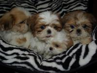 Showing shih Tzu puppies today! I have people that have