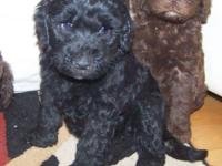 Dam: ShyAnne: 1st generation Black colored Labradoodle: