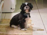 Beautiful Shih Tzu female with quite a story behind her