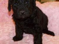 2ND generation BLACK Labradoodle Young puppy: Prepared
