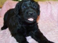 2ND generation BLACK Labradoodle Puppy: Prepared to go