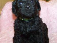 2ND generation BLACK Labradoodle Young puppy: All set