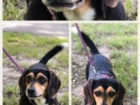 Shyla is an adorable 8 year old tiny beagle weighing 14