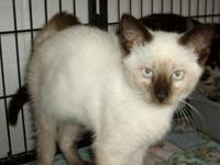 Siamese - 12-c07-148 Brawny - Small - Young - Male -