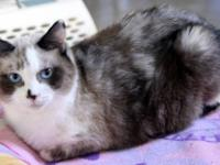 Siamese - A057081 - Medium - Adult - Female - Cat