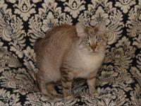Siamese - Akemi - Small - Adult - Female - Cat