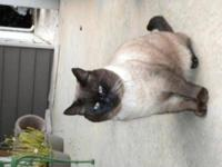 Siamese - Alvin - Medium - Adult - Male - Cat Meet