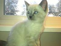 I have 5 beautiful Siamese / Angora kittens that are