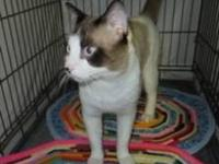 Siamese - Aturo - Medium - Adult - Male - Cat Born-