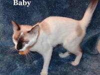 Siamese - Baby - Medium - Baby - Female - Cat Baby is a